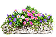 Pink Daisies in a white, wooden Basket. Royalty Free Stock Photography