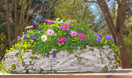 Pink Daisies in a wooden basket. Royalty Free Stock Photo