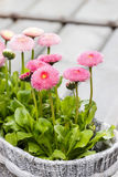 Pink daisies on wooden table Royalty Free Stock Image