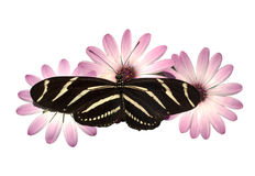 Pink Daisies Zebra Longwing Butterfly Isolated  Stock Image