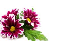 Pink daisis Royalty Free Stock Image