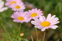 Pink Daisy. In the garden Stock Photography
