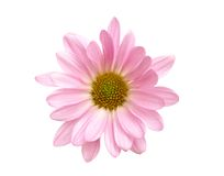 The pink daisy. The natural pink daisy pom on decoration Royalty Free Stock Photos