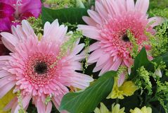 Pink daisy Royalty Free Stock Images