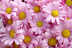 Pink daisy Royalty Free Stock Photos