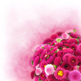 Pink daisy. On white background stock images