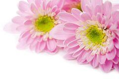 Pink daisy. Closeup of pink daisy on the white stock images