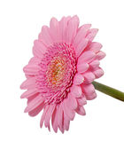 Pink daisy Royalty Free Stock Image