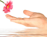 Pink daisy. And closeup hand concept in water Royalty Free Stock Photos