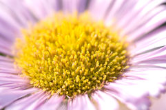 Pink daisy Stock Photos