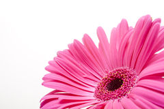 Pink daisy. Tender pink daisy on white with water-drops Stock Images