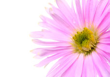 Pink daisy. Pink aster flower on white Stock Image