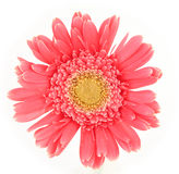 Pink daisy Stock Images