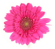Pink daisy. Pink gerber daisy isolated on a white background royalty free stock photos