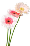 Pink Daisy. Colorful Daisy isolated on white (with clipping path royalty free stock photos