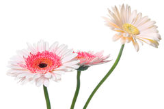 Pink Daisy. Colorful Daisy isolated on white (with clipping path Stock Images