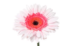 Pink Daisy. Colorful Daisy isolated on white (with clipping path stock photo