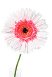 Pink Daisy. Colorful Daisy isolated on white (with clipping path Stock Image
