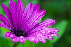 Pink daisy Royalty Free Stock Image