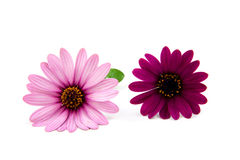 Pink daisy. Isolated on white background royalty free stock photography