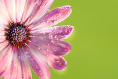 Pink daisy against green Stock Photos