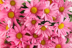 Pink daisy background Stock Image