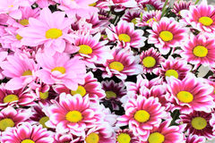 Pink daisy background Royalty Free Stock Photos