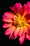 Pink Daisy on Black Stock Photography