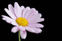 Pink daisy on black Royalty Free Stock Image