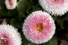 Pink daisy bloom in spring Royalty Free Stock Photography