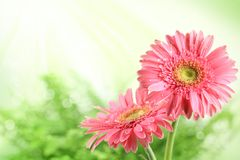 Pink daisy blossom in spring Stock Photography