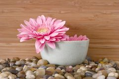 Pink daisy in bowl with river rocks and bamboo - s Royalty Free Stock Photo
