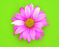 Pink Daisy on Bright Background. Pink daisy on bright green background Stock Images