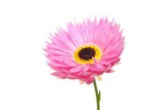 Pink daisy Stock Image
