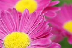 Pink daisy. Camomile flower in the garden. Royalty Free Stock Photography