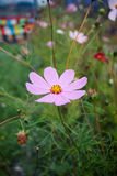 Pink daisy chamomile flowers field Stock Photos