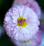 Pink daisy close-up Royalty Free Stock Image
