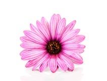 Pink daisy in closeup Stock Photos