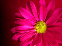 Pink daisy closeup Royalty Free Stock Images