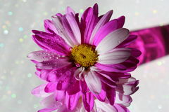 Pink Daisy. Cute pink daisies in a pink vase which is reflecting on the sparkling background royalty free stock image