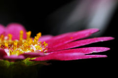 Pink Daisy In The Dark. Pink Daisy from a close look Stock Images