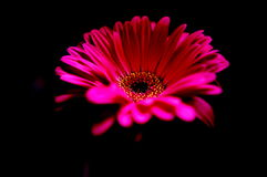 Pink  daisy in the dark Stock Photography
