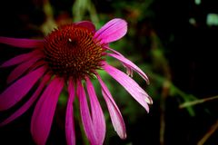 Pink daisy. Detail of bloom pink daisy royalty free stock photography