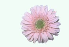 Pink daisy flower stock images