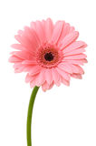 Pink daisy flower. With stem isolated on white background Royalty Free Stock Photography