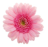 Pink Daisy flower. Close up of flower against white background Royalty Free Stock Photos