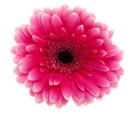 Pink Daisy flower Royalty Free Stock Images