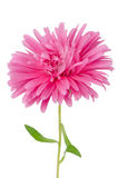 Pink daisy flower Royalty Free Stock Image