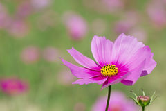 Pink daisy flower Stock Photo