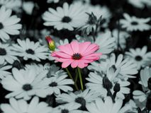 Pink daisy flower Stock Photos